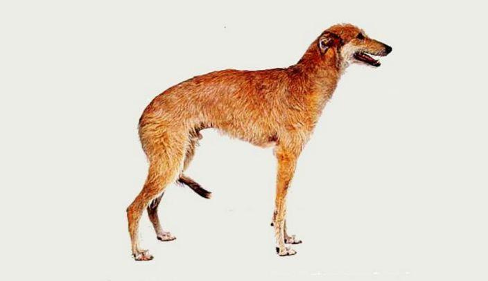 2017年世界十大最丑的狗品种排行榜