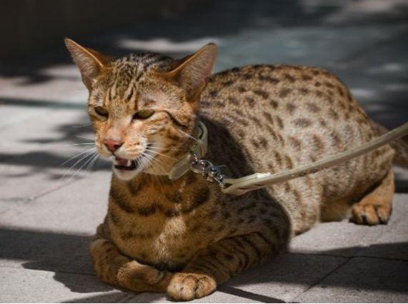2017年最贵的猫品种排行榜 最贵的竟要10万美元!