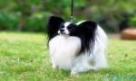 世界上最聪明的狗排行榜前十名 不仅聪明而且容易训练
