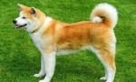世界上最贵的狗排名 罗秦犬位居第一