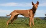 10种世界上最贵的狗排名 藏獒还不是最贵