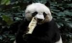 世界上最长寿的大熊猫 活了38岁相当于人类110岁