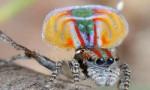 世界上最美的蜘蛛,孔雀蜘蛛色彩绚丽,能像孔雀一样开屏