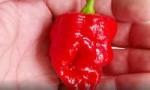 世界上最辣的辣椒 龙吐息辣椒辣度248万