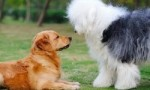 世界名犬排名 你知道几个