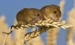 世界上最小的老鼠,巢鼠体长半分米,体重仅8克
