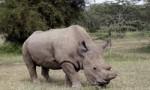 即将绝种 地球上仅剩的最后一只北非白犀牛已43岁高龄