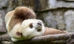 世界上现存的唯一棕色大熊猫,黑眼圈都变淡了