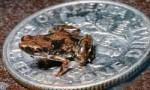 世界上最小的青蛙,阿马乌童蛙体长仅7.7毫米,比指甲盖还小