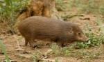 世界上最小的猪,侏儒猪体长仅在30厘米左右