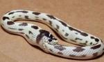 世界上最无聊的蛇,环箍蛇会像猫狗一样捕捉自己的尾巴