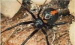 世界上最毒的10种蜘蛛   见到了一定要绕着走