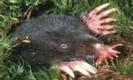 世界上长相最奇特的鼹鼠,星鼻鼹长有状如星芒的鼻子