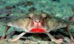 世界上长着红唇的鱼,红唇蝙蝠鱼的嘴像涂了口红一样鲜艳