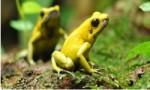 世界十大最毒青蛙      第一位一克毒素可以杀死1.5万人!