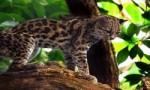 美洲最小的猫科动物,南美林虎猫体长不足半米