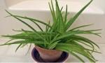 有助清洁空气的十大室内植物 让你的住所保持清新