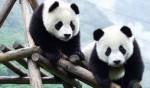 中国十大珍稀动物 大熊猫只剩下1800多只了