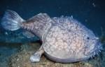 上最奇特的海洋生物排名 褶边鲨鱼6个鳃看起来最怪异