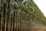 世界上生长速度最快的植物 杂交杨树每年可以生长十英尺