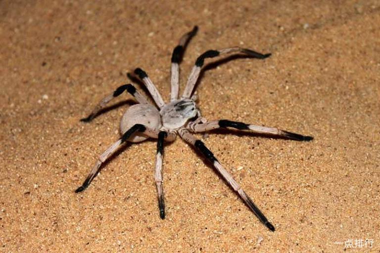 世界上体型最大的蜘蛛 巨型鸟食狼蛛排第一