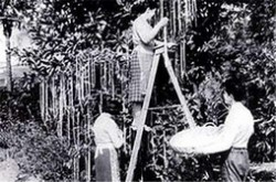 十大著名的愚人节玩笑 会长面条的树你想种一颗吗