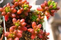多肉植物品种名称大全 十种适合新手养殖的多肉植物