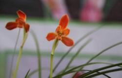 最珍贵的兰花品种排名 十大名贵兰花品种排行