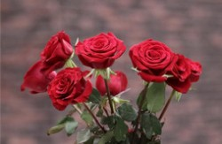 玫瑰花颜色花语大全 红玫瑰炙热白玫瑰纯真