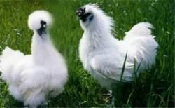 中国十大名鸡品种排名 丝羽乌骨鸡颜值最高