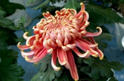 菊花的品种有哪些 菊花十大常见品种大全