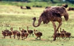 世界上最大的十种鸟 非洲鸵鸟身高2.5米
