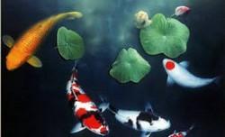 最适合家养的十大风水鱼排名 风水鱼养什么鱼最好