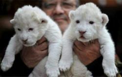 济南双胞胎白狮诞生 全球仅百只比大熊猫还要珍贵