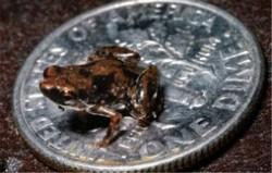 世界上最小的脊椎动物排名 阿马乌童蛙全长仅6.2毫米