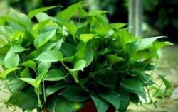 十大可祛除甲醛的植物排名 室内除甲醛植物有哪些