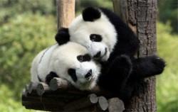 中国十大国宝动物排名  国宝大熊猫举世闻名