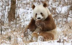 """全球唯一棕色大熊猫被认养 大熊猫""""七仔""""终于有家了"""