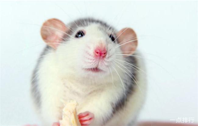 最可爱的鼠类前十名 土拨鼠也上榜了