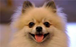 十大适合家养的小型犬排行榜 软萌又可爱你值得拥有