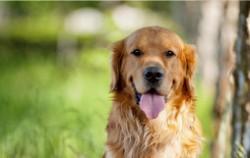 大型宠物狗的品种名称大全 适合家养的大型犬排名