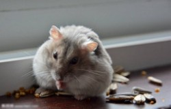仓鼠十大品种大全 最好养的仓鼠排名
