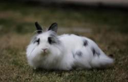 十大兔子品种名贵排名 最名贵的兔子排行榜