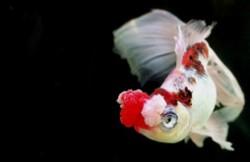 十大难养的金鱼品种 金鱼难易排行榜
