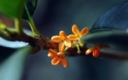 桂花哪个品种最名贵 名贵桂花品种排名