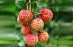 中国十大荔枝品种排名 荔枝最好的品种叫什么
