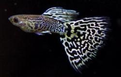 孔雀鱼品种大全 孔雀鱼哪个品种好看