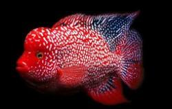 罗汉鱼品种排名 罗汉鱼哪个品种最贵
