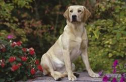 导盲犬品种排名 导盲犬都是选什么品种