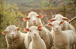 中国十大名羊品种排行榜 中国什么羊品种最好